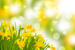 Daffodils with bokeh Stock Images
