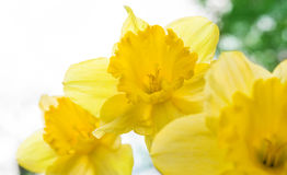 Daffodils, Bokeh Stock Photography