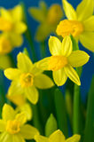 Daffodils bonitos imagens de stock royalty free