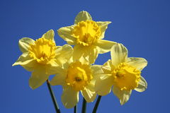 Daffodils. Bouquet of Daffodils with blue sky as background Stock Image
