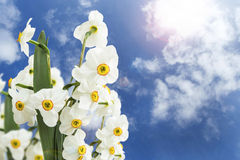 Daffodils bouquet on blue sky Royalty Free Stock Photography