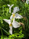 Daffodils brancos fotografia de stock