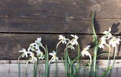 Daffodils brancos Imagem de Stock Royalty Free