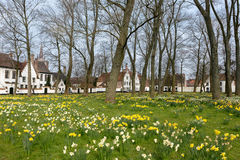 Daffodils in Bruges beguinage Stock Photography