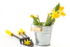 Daffodils in a bucket with a shovel and a rake Stock Photography