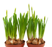Daffodils buds isolated white pots two spring Stock Photography