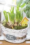 Daffodils bulbs in basket Royalty Free Stock Images