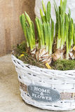 Daffodils bulbs in basket Royalty Free Stock Photos