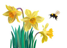 Daffodils and the bumblebee Stock Images