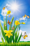 Daffodils and butterflies in field Royalty Free Stock Photos