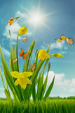 Daffodils and butterflies in field Royalty Free Stock Images
