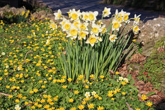 Daffodils and Celandines Royalty Free Stock Photography