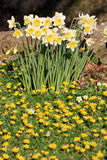Daffodils and Celandines Stock Photography