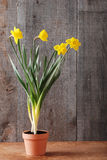 Daffodils in clay pot Stock Images