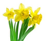 Daffodils with clipping path Royalty Free Stock Photography
