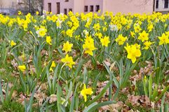 Daffodils Royalty Free Stock Images