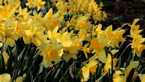 Daffodils. Close Up of daffodils waved by the wind stock video footage
