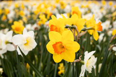 Daffodils closeup Royalty Free Stock Images