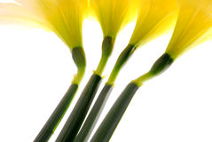 Daffodils Closeup Stock Photo