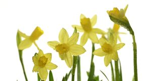 Daffodils closeup on white background with focus shifting stock video footage