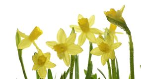 Daffodils closeup on white background with focus shifting stock footage