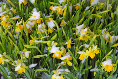 Daffodils covered with snow Royalty Free Stock Photos