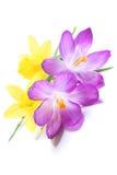 Daffodils and crocuses Stock Photos