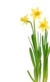 Daffodils da mola Foto de Stock