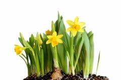 Daffodils da mola Imagem de Stock Royalty Free