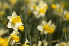 Daffodils. Daffodil in field on a sunny day Stock Photo