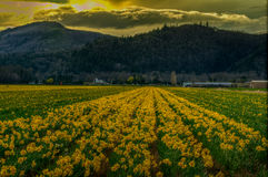 Daffodils. Daffodil Field in Yarrow BC Canada Royalty Free Stock Images
