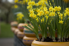 Daffodils. Daffodil in a plant pot Royalty Free Stock Photos