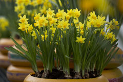 Daffodils. Daffodil in a plant pot Royalty Free Stock Image