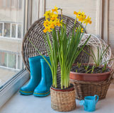 Daffodils and decorative watering can Royalty Free Stock Image