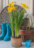 Daffodils and decorative watering can Royalty Free Stock Photo