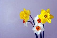 Daffodils della sorgente Fotografie Stock