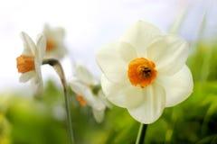 Daffodils della sorgente Fotografia Stock