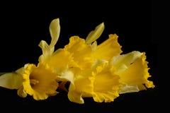 Daffodils della sorgente Immagine Stock