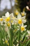 Daffodils della sorgente Immagini Stock Libere da Diritti