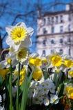 Daffodils della sorgente in città europea Immagine Stock