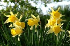 Daffodils della sorgente in Scozia Fotografie Stock