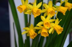 Daffodils detailed. Group of Daffodils in spring Stock Images