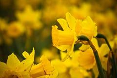 Daffodils di Babyboomer Fotografia Stock
