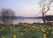 Daffodils di Windermere, Cumbria Fotografia Stock