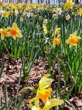 Daffodils Into Distance Royalty Free Stock Photography