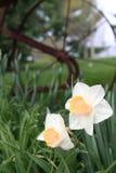 Daffodils e arado Imagens de Stock Royalty Free