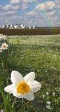 Daffodils e exploração agrícola fotografia de stock royalty free