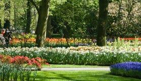 Daffodils e tulipani di fioritura Fotografia Stock Libera da Diritti