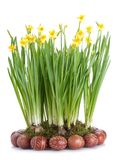 Daffodils and Easter eggs Stock Image