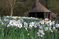 Daffodils & Edwardian Summerhouse at Trengwainton Stock Photo